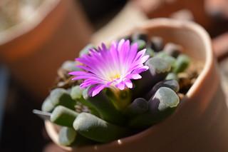 DSC_3772 Frithia pulchra フリチア 光玉