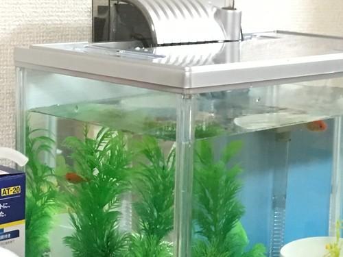 金魚 2016.8.29
