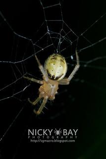 Orb Weaver Spider (Zygiella inustus) - DSC_7479