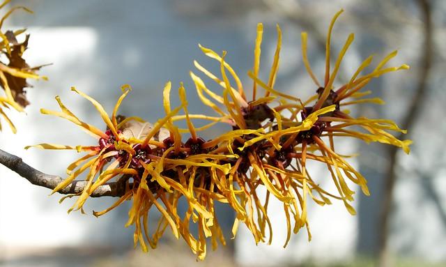 Hamamelis japonica