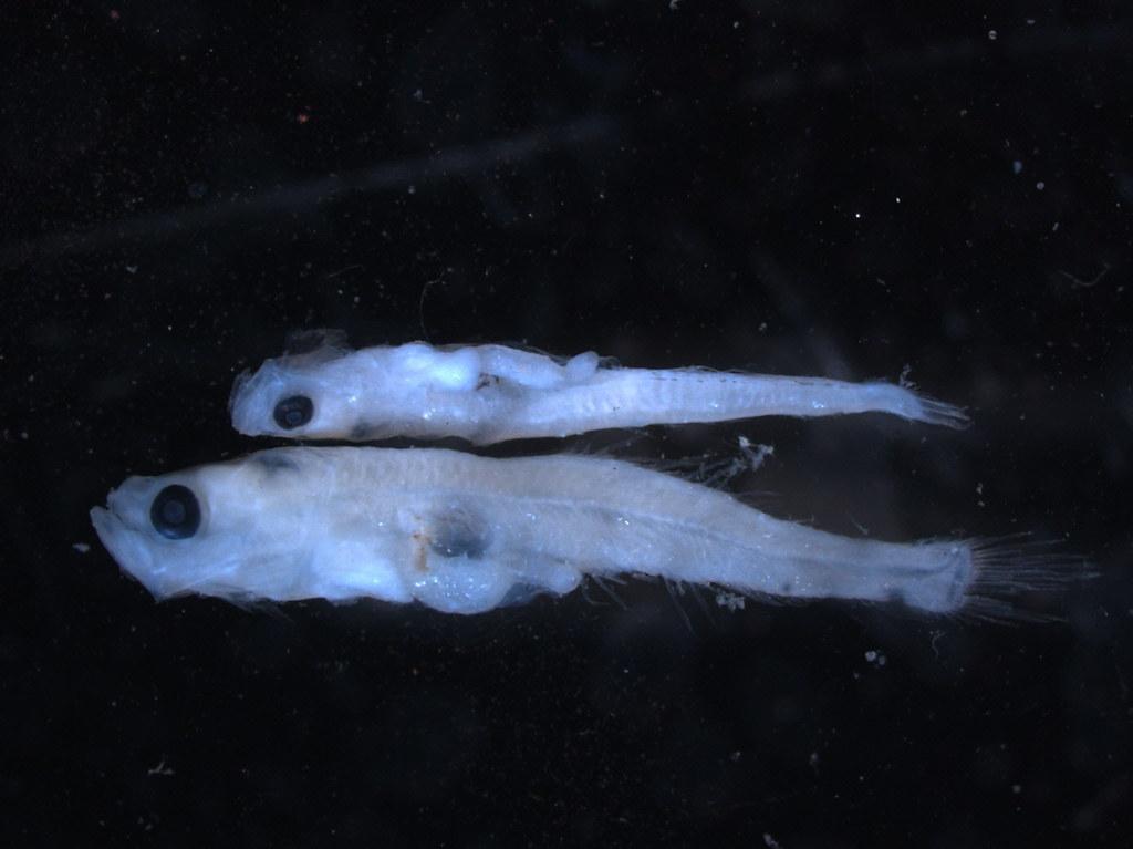 斑尾刺鰕虎(上)和矛尾鰕虎(下)