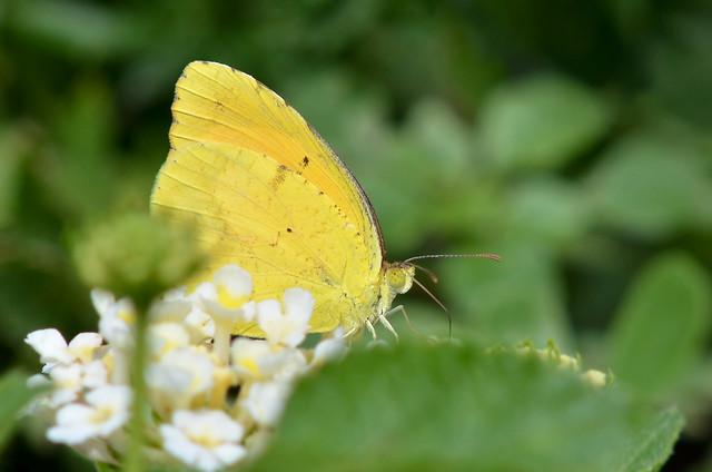 Butterfly - Sleepy Orange