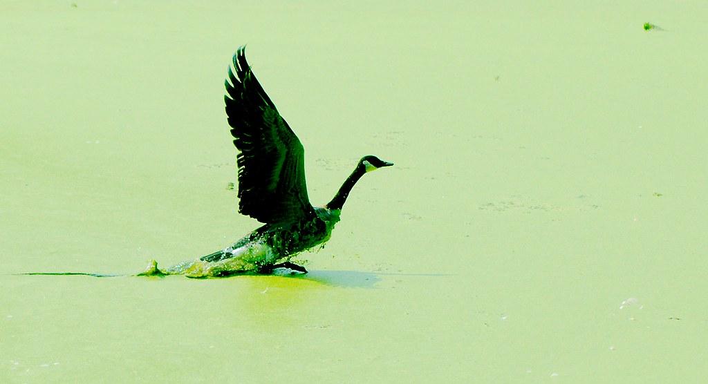 Canada Goose_v2