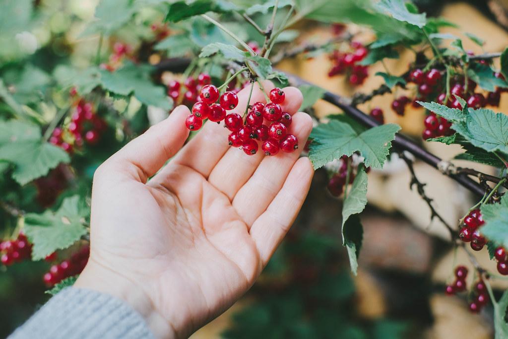 Röda Vinbär - Evelinas Ekologiska