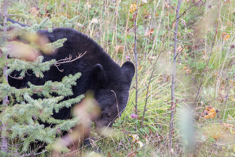 Bear at the side of the road in Jasper National Park