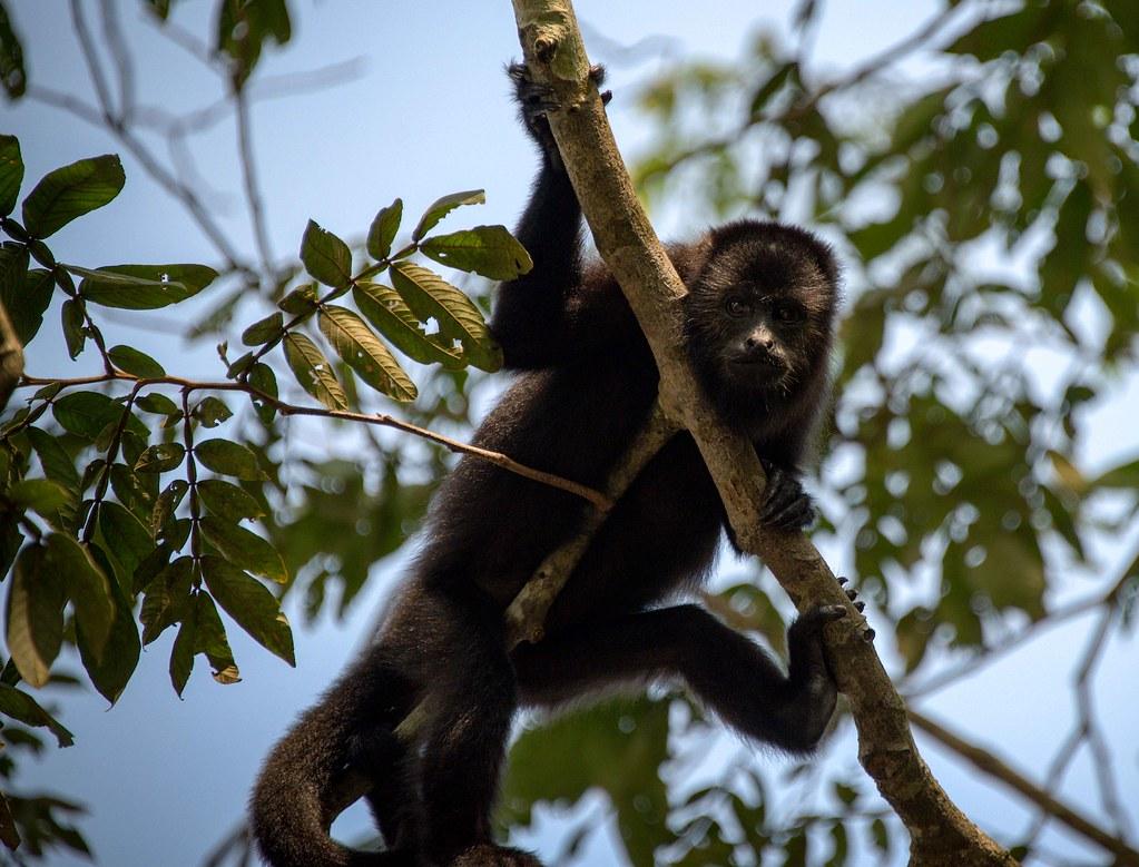 Image result for howler monkey