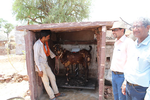 Farmers selling goats by weight in Jodhpur.