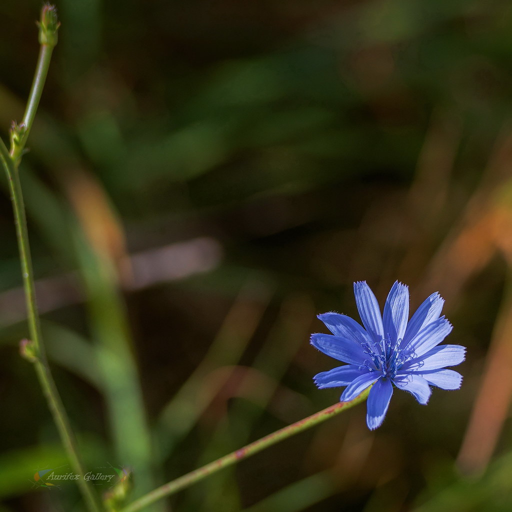 Chicory in October