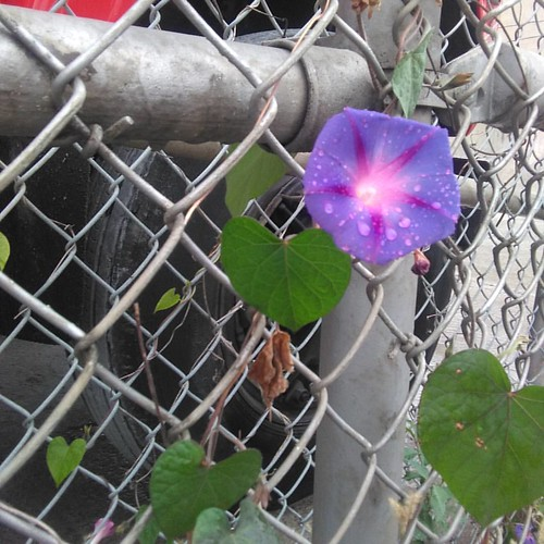 Morning glory, wire fence #toronto #dovercourtvillage #dupontstreet #purple #morningglory #flowers #wire #fence