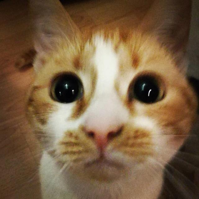 My little purrfict feline companion #meeshaisawesome #meeshaantics #meesha #meeshathecat #catsoninstagram #catsofinstagram #catsofig #kittycuddles #cutenessoverload #kittycat #purrfectfelines #purrpurr #catsruleeverythingaroundme
