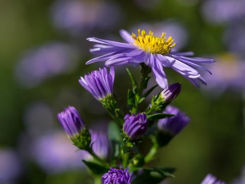 Michaelmas Daisy / Aster flower