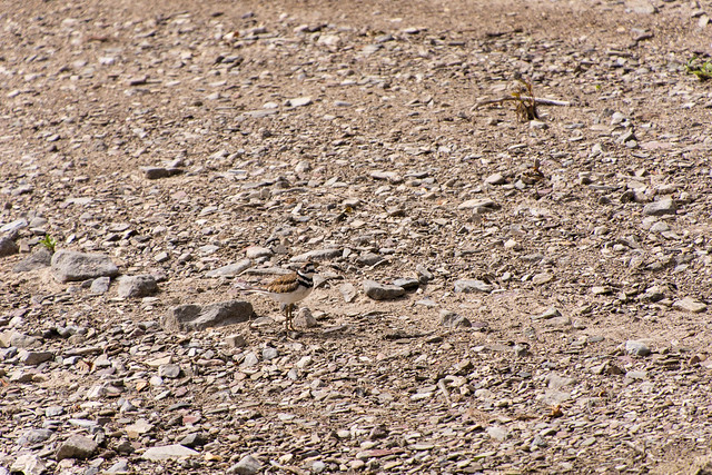 spot the Kildeer
