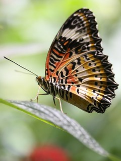 Malay Lacewing Butterfly | by donsutherland1