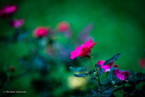 raining on roses | by mfauscette