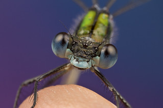 Emerald Damselfly on my finger! - As seen on BBC Nature Website | by Muzby1801