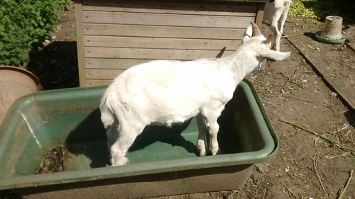 goat kid in bath tub Aug 16 1