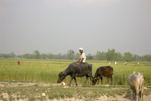 A farmer on a water buffalo in Southern Terai, Nepal.