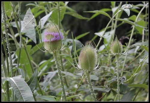 Dipsacus follunum (1)