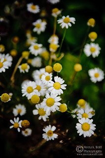 Summer Daisy by Meeta K. Wolff | by Meeta Wolff @ What's For Lunch, Honey?