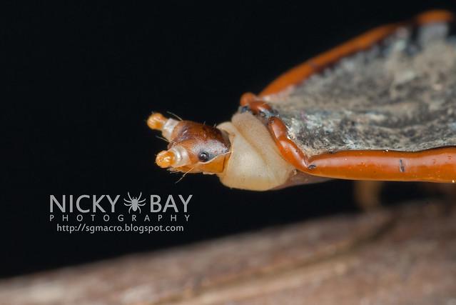Trilobite beetle larva (Platerodrilus sp.) - DSC_2028