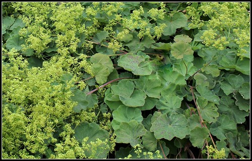 Alchemilla mollis  (5)