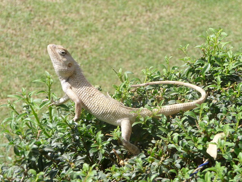 lizard | by Anna: out and about