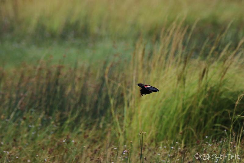 IMG_1507RedWingedBlackbird
