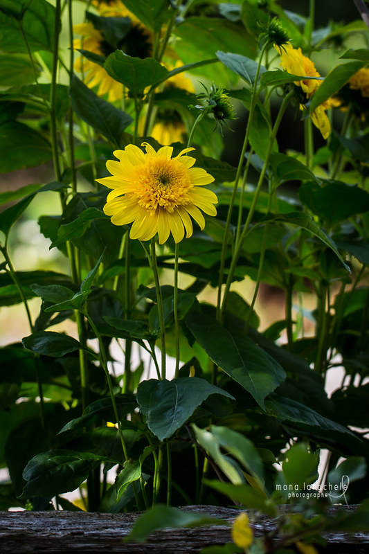 "Helianthus ""Happy Days"" 28921781582_0d565cdca3_c"
