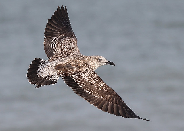 Lesser Black-backed Gull, juvenile