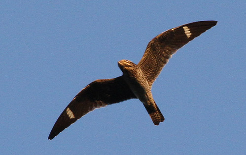 Common Nighthawk, Westminster Station, 8/18/2012 | by JoAnne-Russo