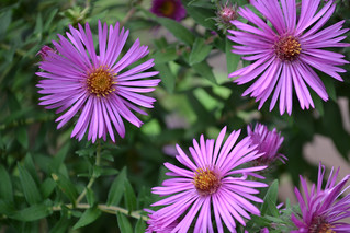 Asters | by Brooklyn Botanic Garden