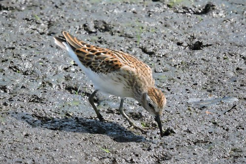 #98 Least Sandpiper Lifer #156