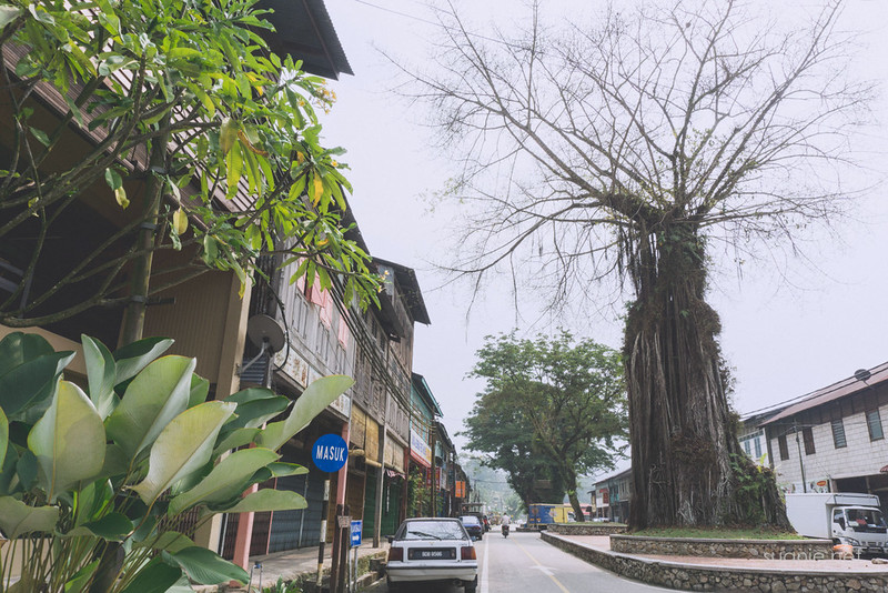 Sungai Lembing, Pahang - old tree