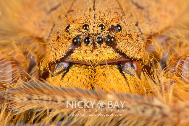 Huntsman Spider (Heteropoda sp.) - DSC_2184