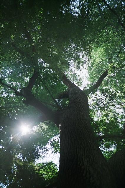 樫の木? / 下月隈八幡宮