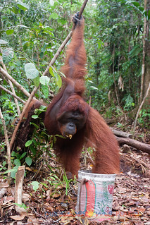 Orangutan World, Tanjung Puting Borneo Adventure-108.jpg | by OURAWESOMEPLANET: PHILS #1 FOOD AND TRAVEL BLOG