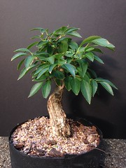 Forsythia spp. (Forsythia)