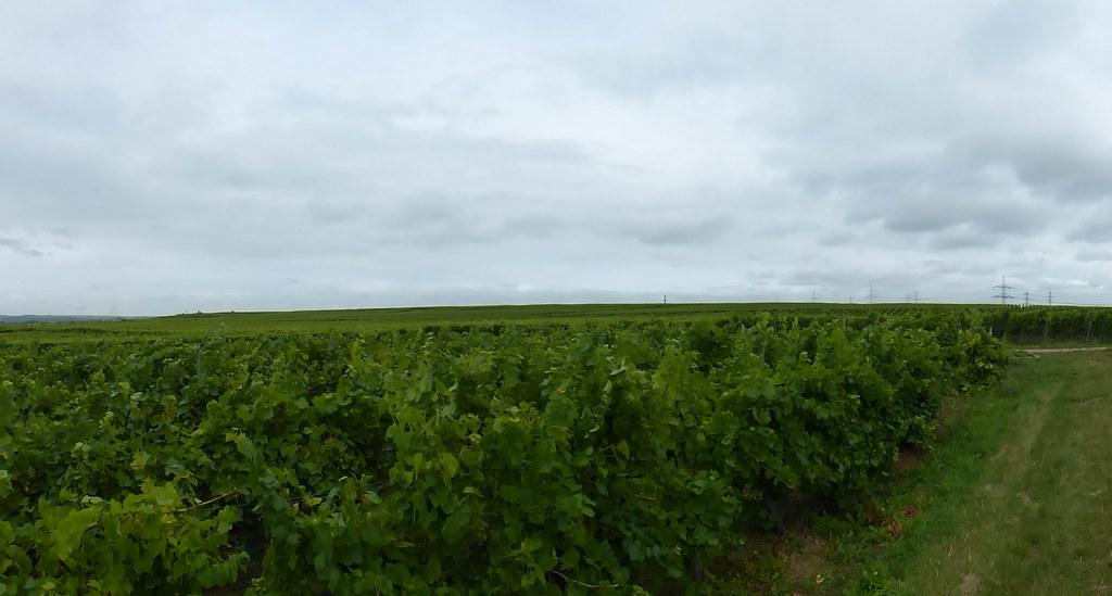 In den Weinbergen zwischen Worms und Osthofen