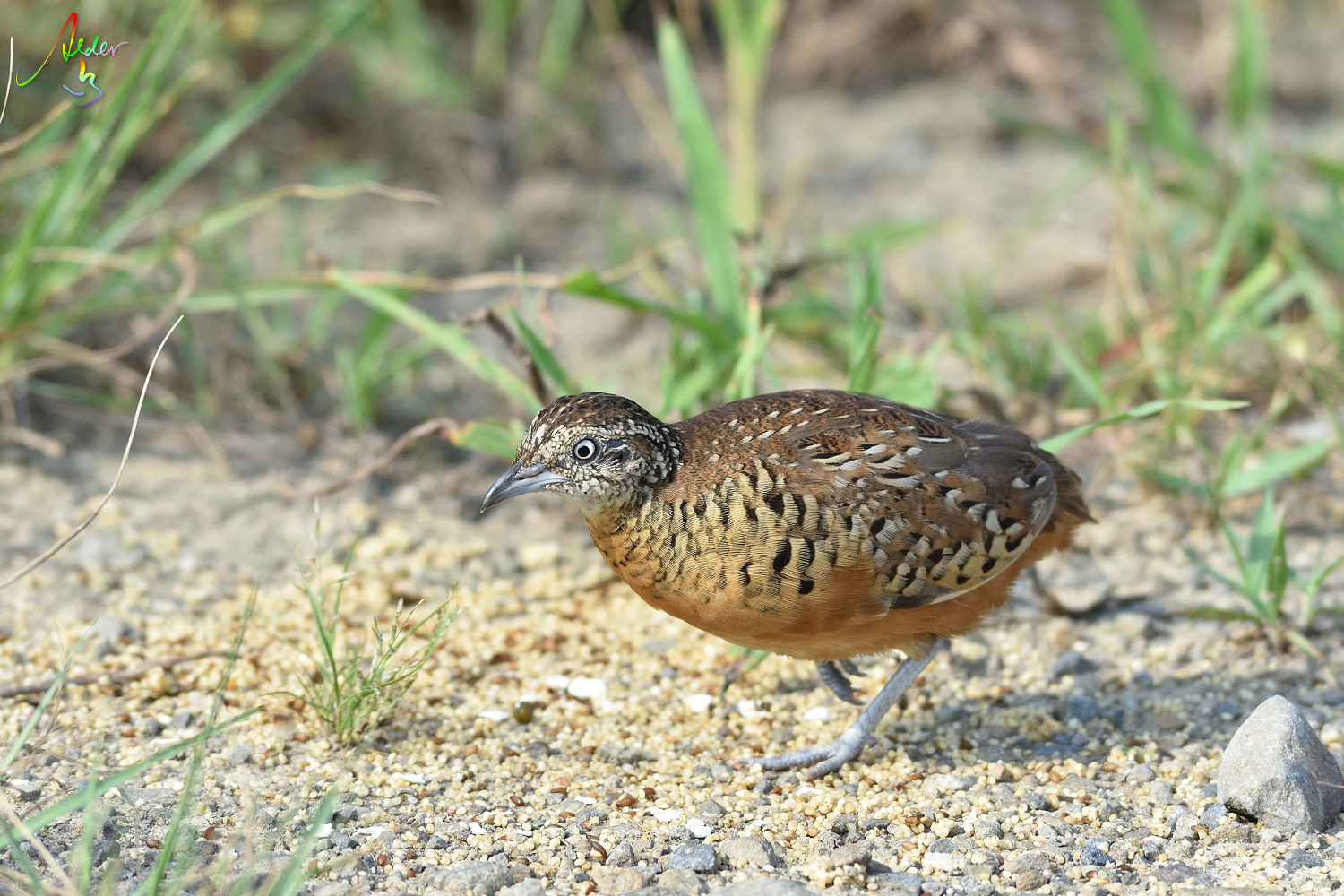 Barred_Butonquail_9637