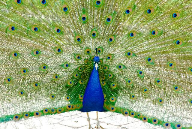 Peacock_27