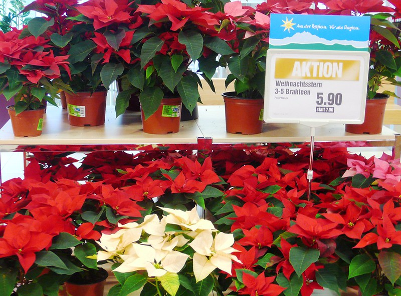 Poinsettia in Migros