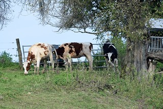 Cows 26.09 (5)