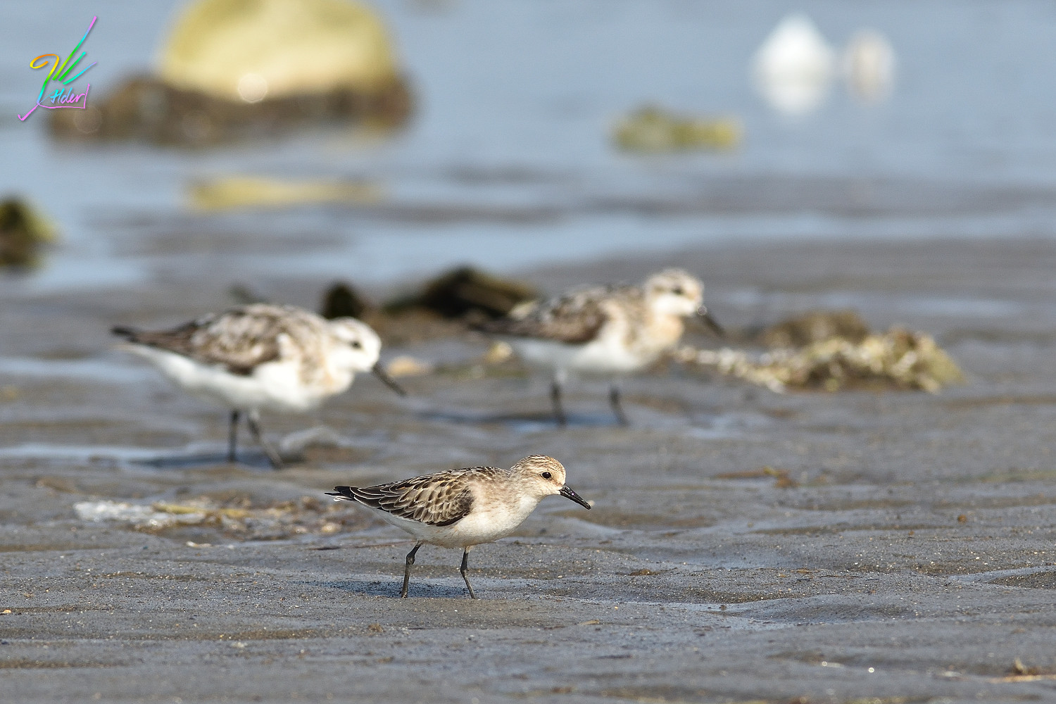 Red-necked_Stint_0992
