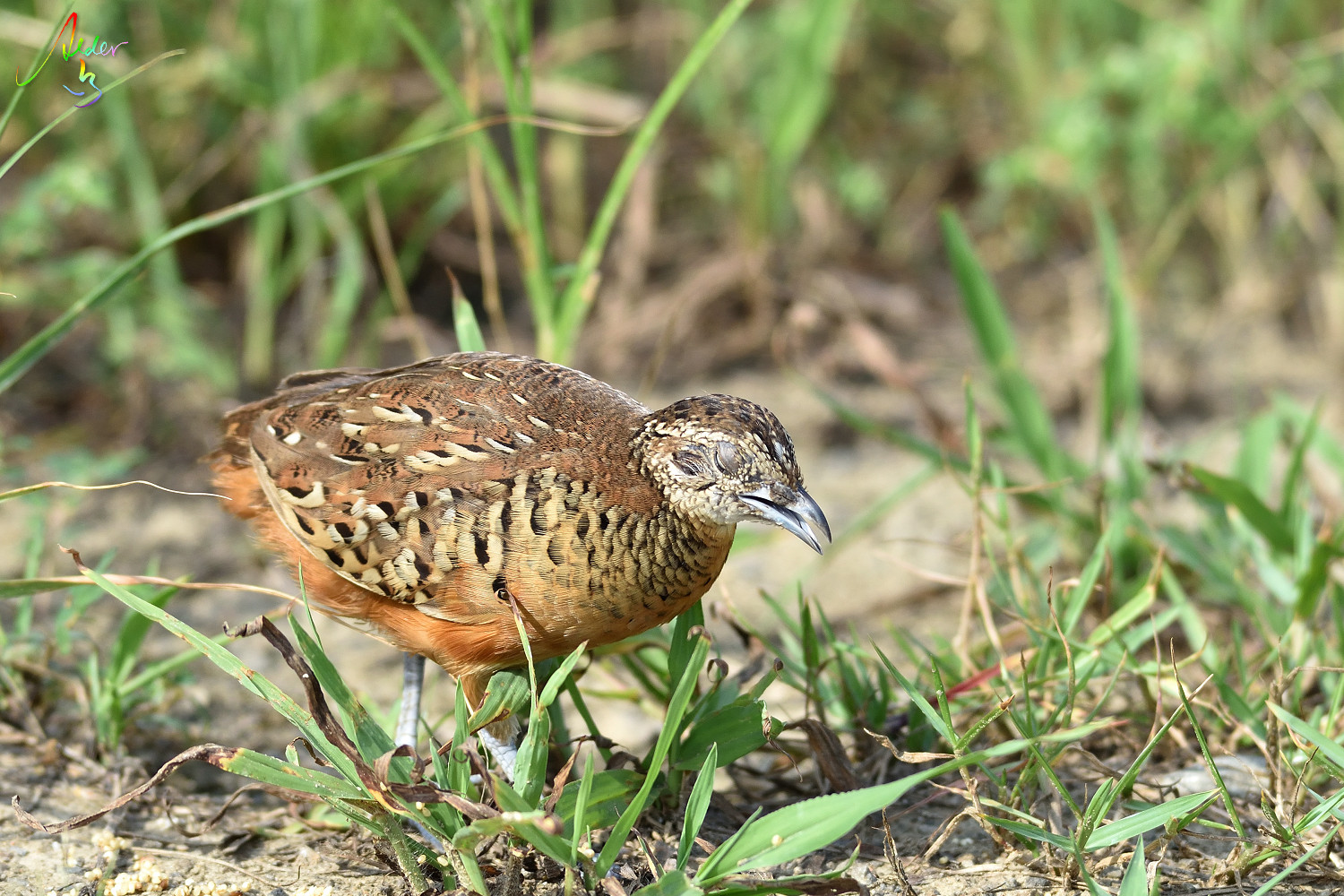 Barred_Butonquail_9519