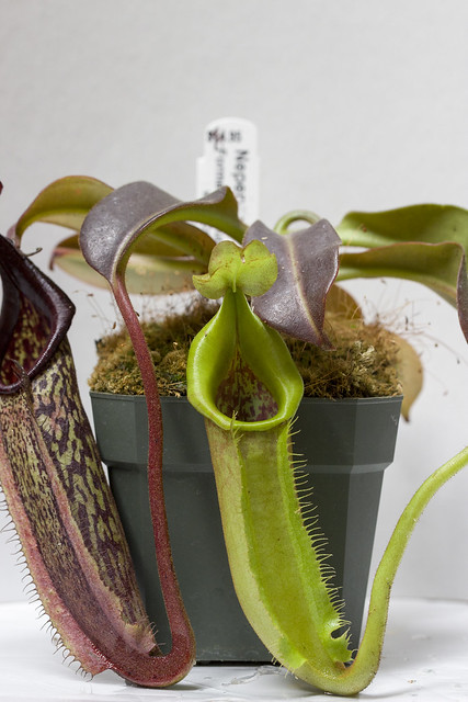 Nepenthes maxima Buyu Lumut BE