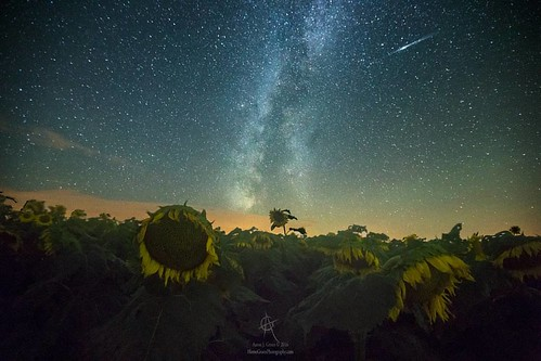 Milky Way and Perseid Meteor and Sunflowers
