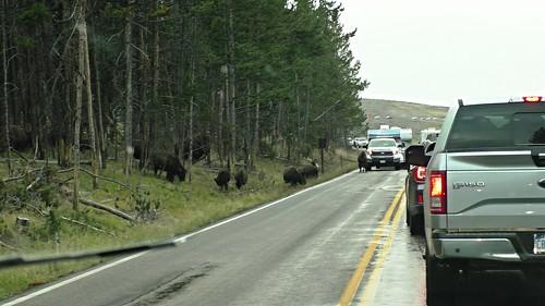 S1040007_Buffalo_on_Road_in_Yellowstone