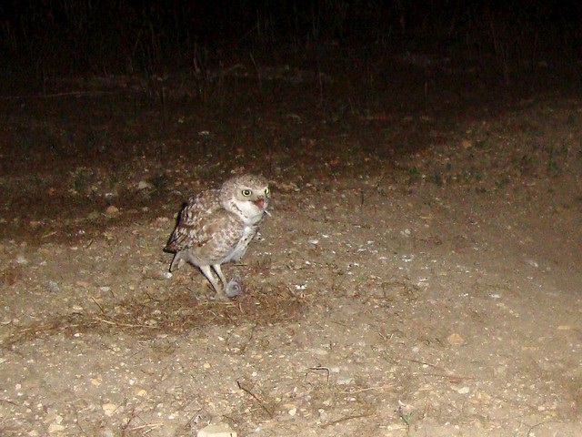burrowing owls 6