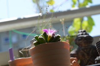 DSC_3769 Frithia pulchra フリチア 光玉