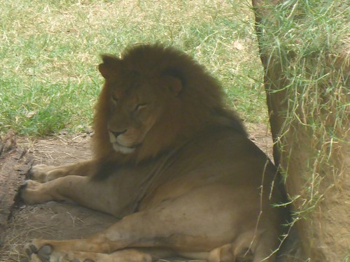 A lion, just chilling out